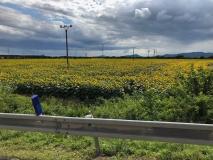 Weite Sonnenblumenfelder, soweit das Auge reicht
